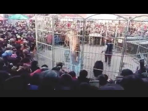 circus tiger breaks through fence injuring two kids
