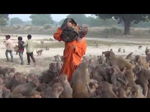 guru swarmed by monkeys