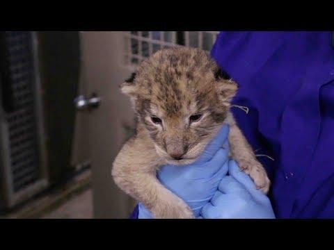 cute alert iowa zoos lion cubs