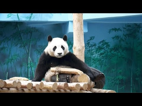 chronicles of a very active panda